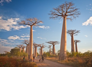 Baobabs and Bicycle (1. Prize)