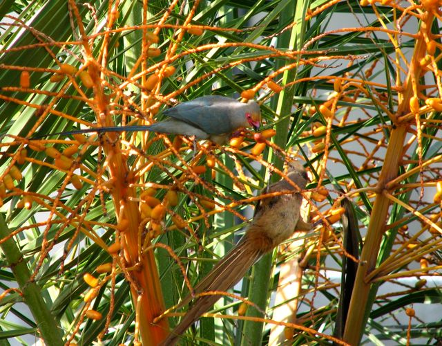 Red-Faced and Speckled Mousebird
