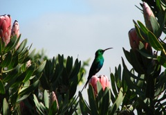 Malachite Sunbird on Protea laurifolia, where he built his nest