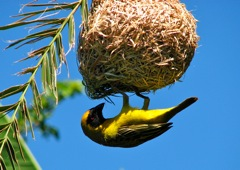 Southern Masked-Weaver build their nests in our Palm tree