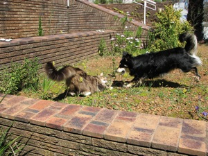 Wherever I go, Harald the Main Coon and Nemo, the Border CollieX Jack Russel come along
