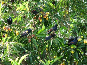 Red-winged Starlings raiding our Loquat tree
